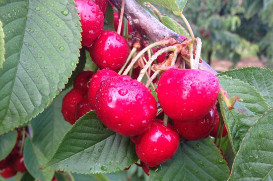 Ripe Sweet Cherries in Door County, Wisconsin